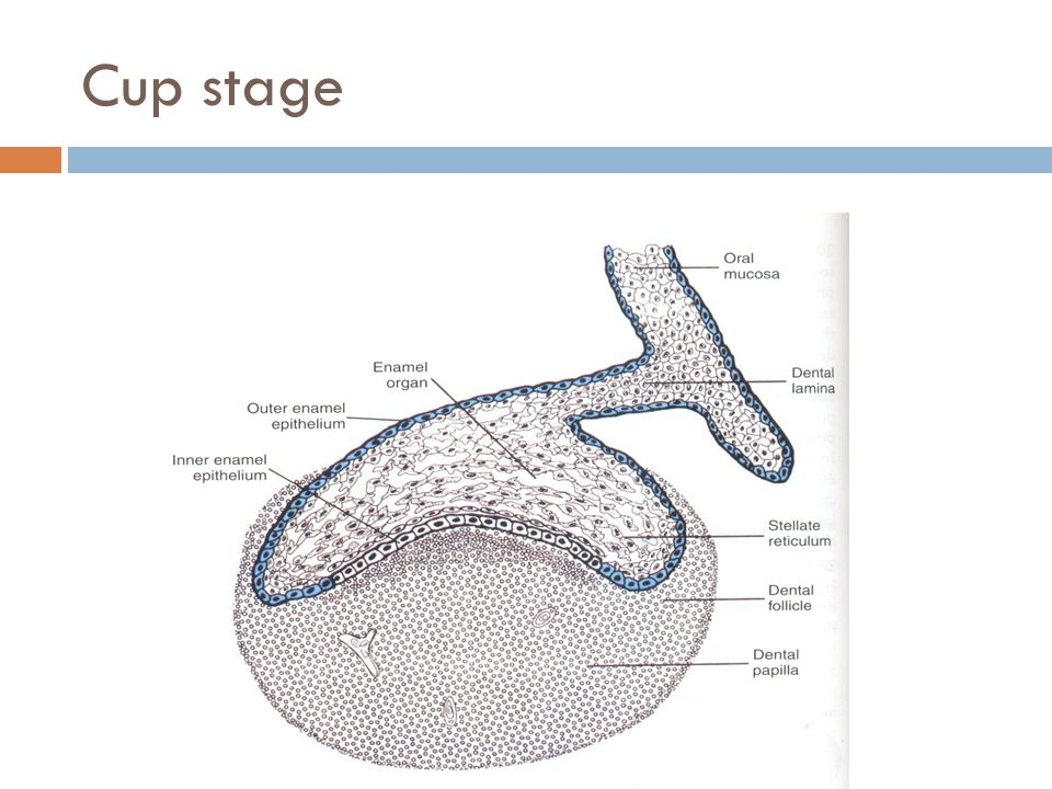 Cup stage