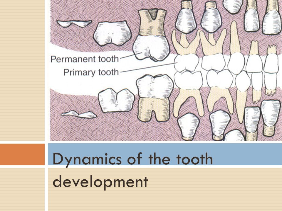 Dynamics of the tooth development