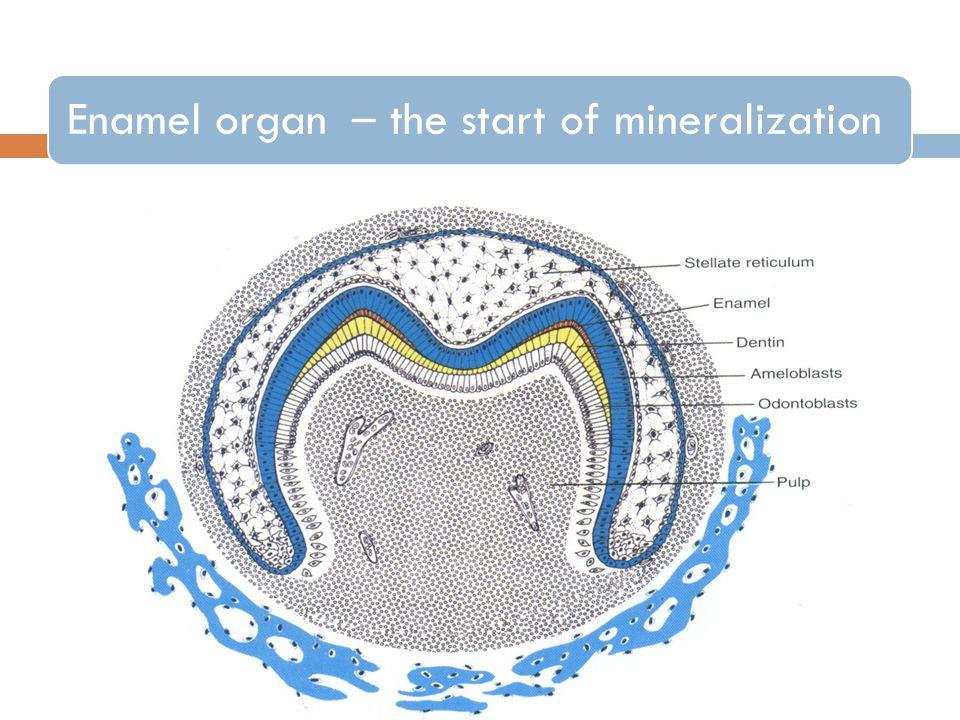 Enamel organ – the start of mineralization
