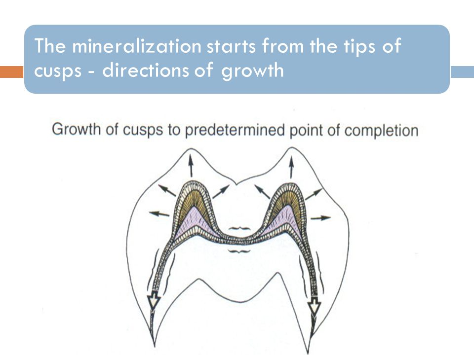 The mineralization starts from the tips of cusps - directions of growth