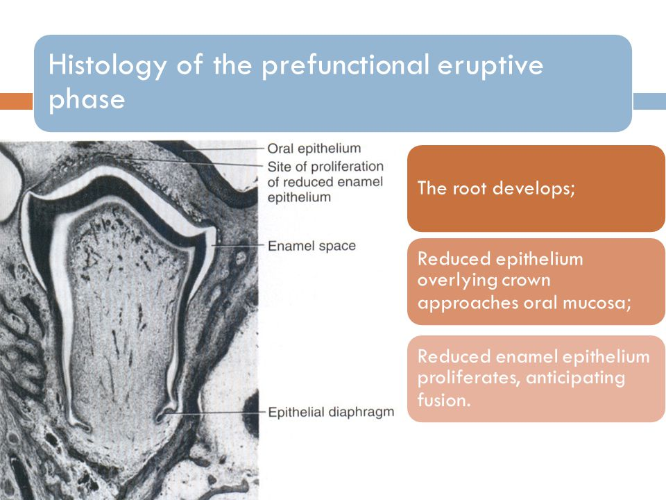 Histology of the prefunctional eruptive phase