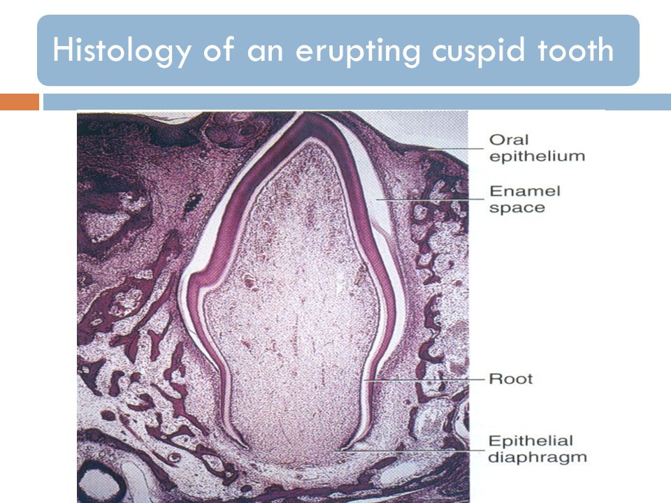Histology of an erupting cuspid tooth