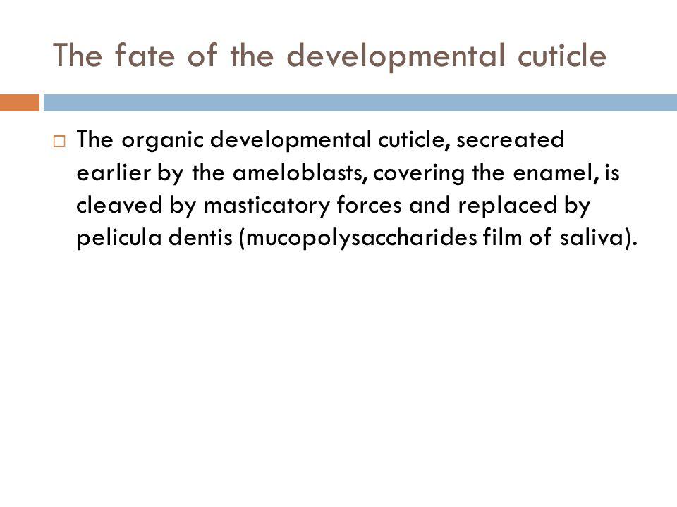 The fate of the developmental cuticle