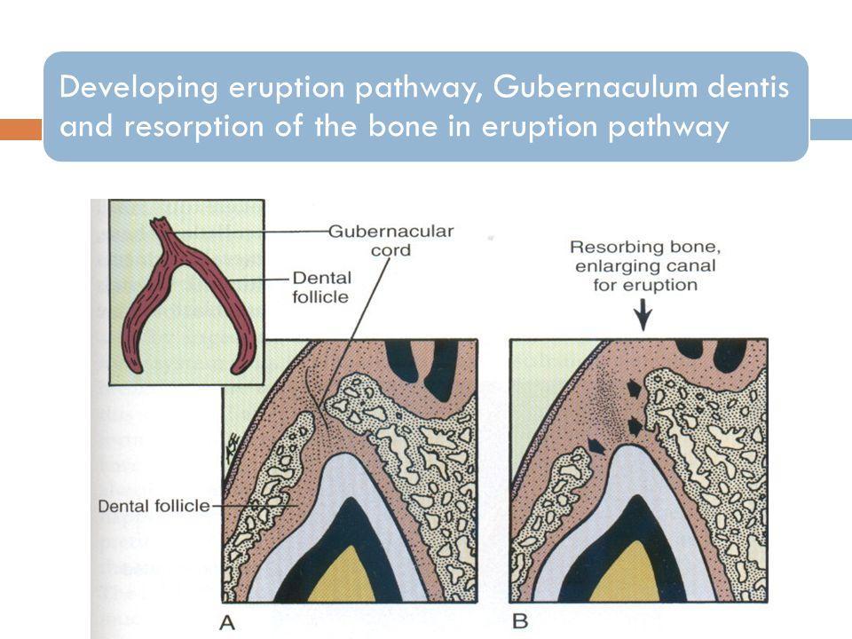 Developing eruption pathway, Gubernaculum dentis and resorption of the bone in eruption pathway