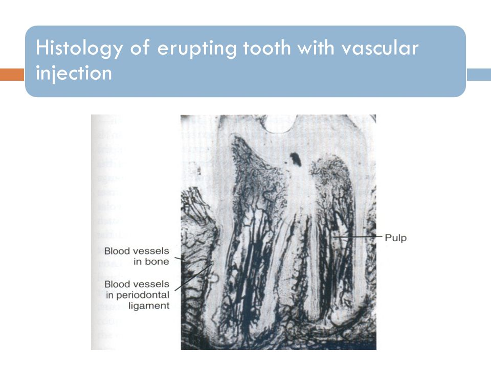 Histology of erupting tooth with vascular injection