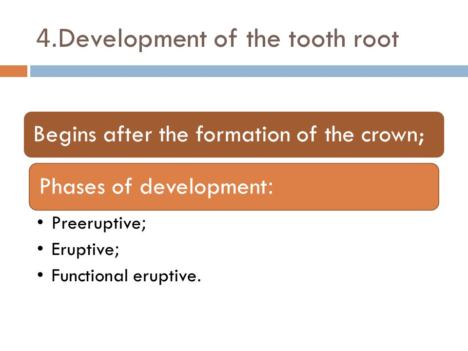 4.Development of the tooth root