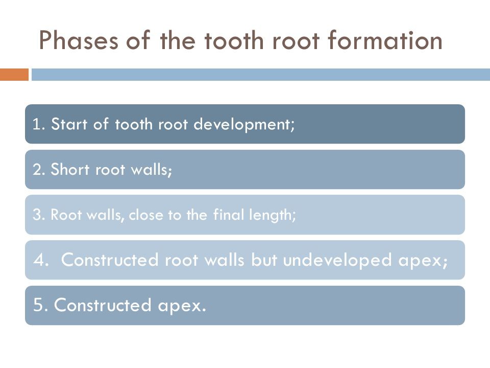 Phases of the tooth root formation