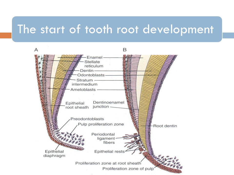 The start of tooth root development