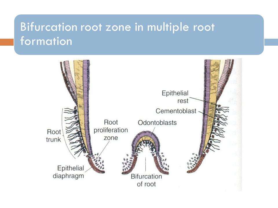 Bifurcation root zone in multiple root formation