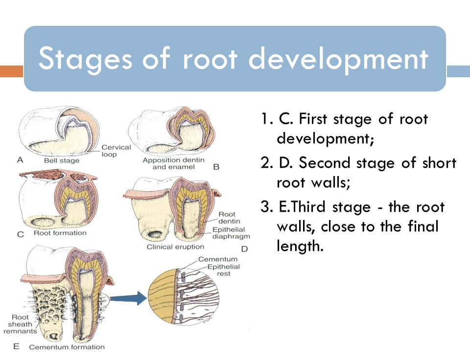 1. C. First stage of root development;