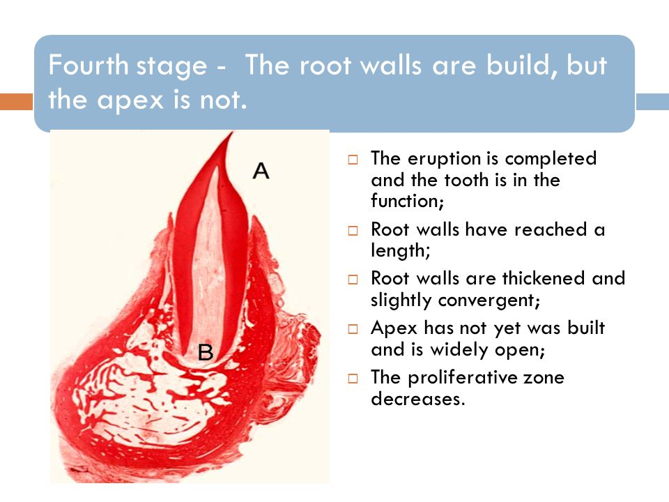 The eruption is completed and the tooth is in the function;