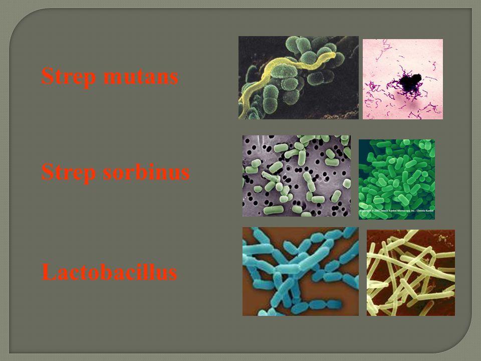 Strep mutans Strep sorbinus Lactobacillus