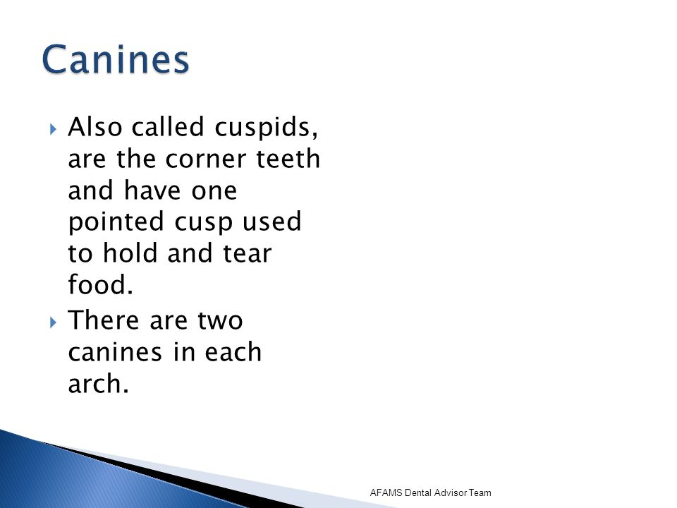 Canines Also called cuspids, are the corner teeth and have one pointed cusp used to hold and tear food.