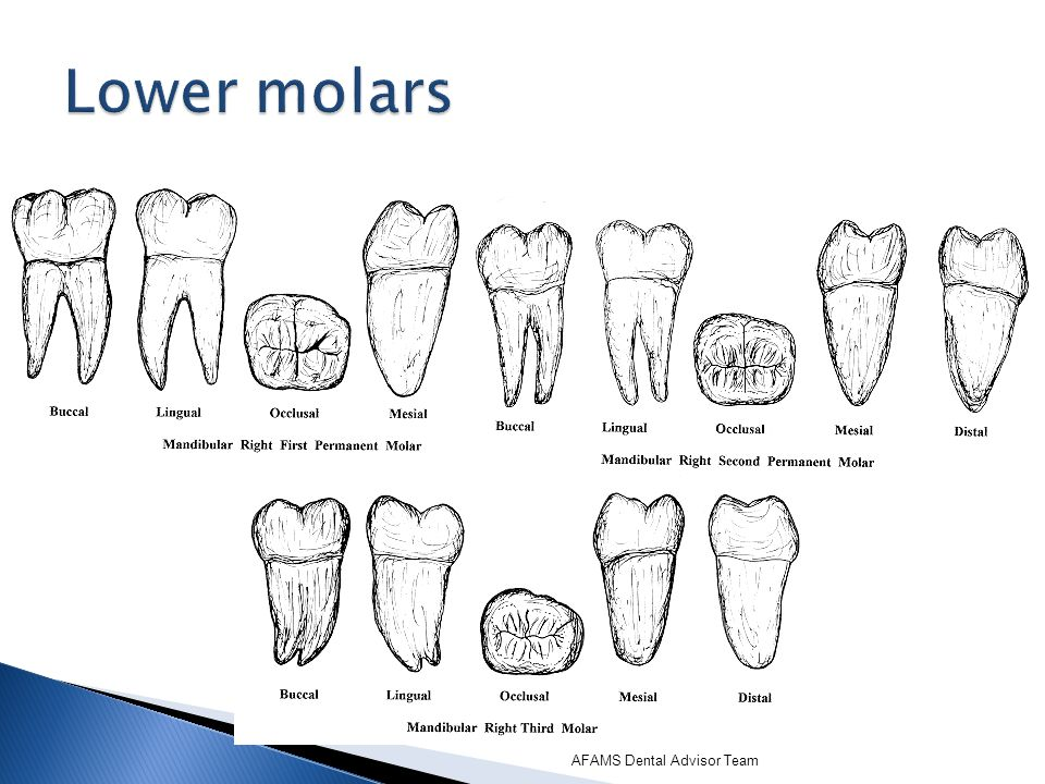 Lower molars AFAMS Dental Advisor Team