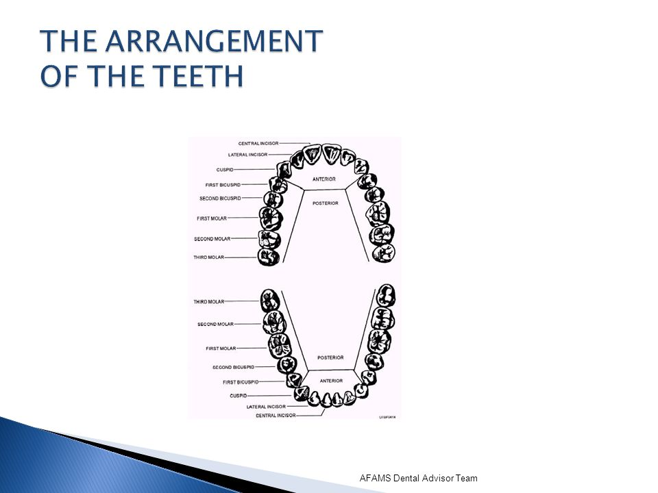 THE ARRANGEMENT OF THE TEETH