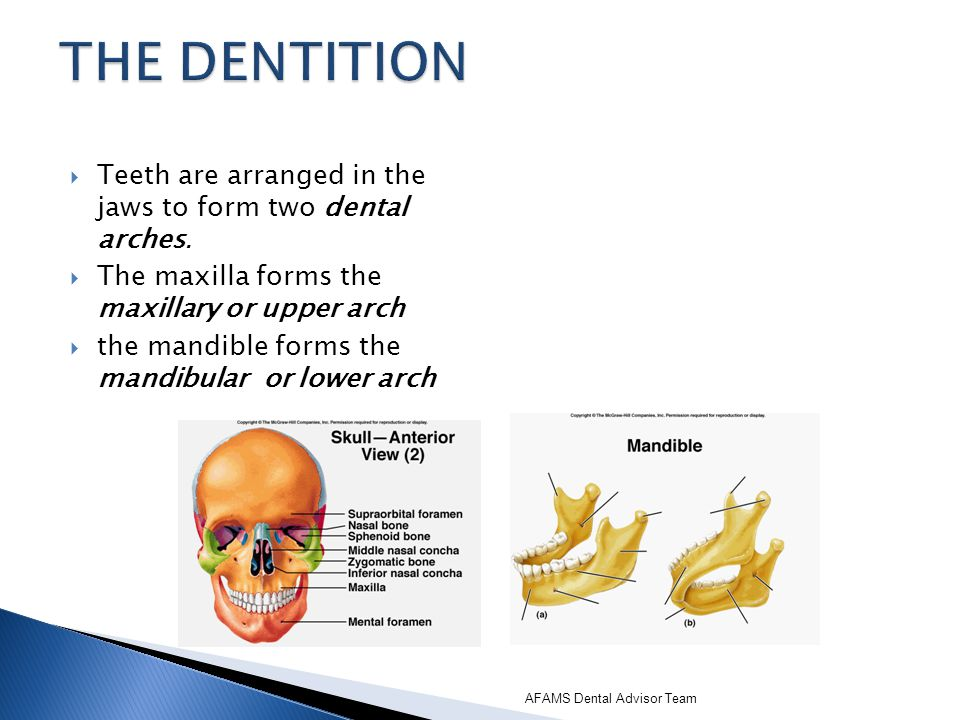 THE DENTITION Teeth are arranged in the jaws to form two dental arches. The maxilla forms the maxillary or upper arch.