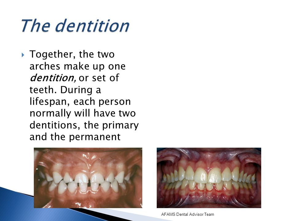 The dentition
