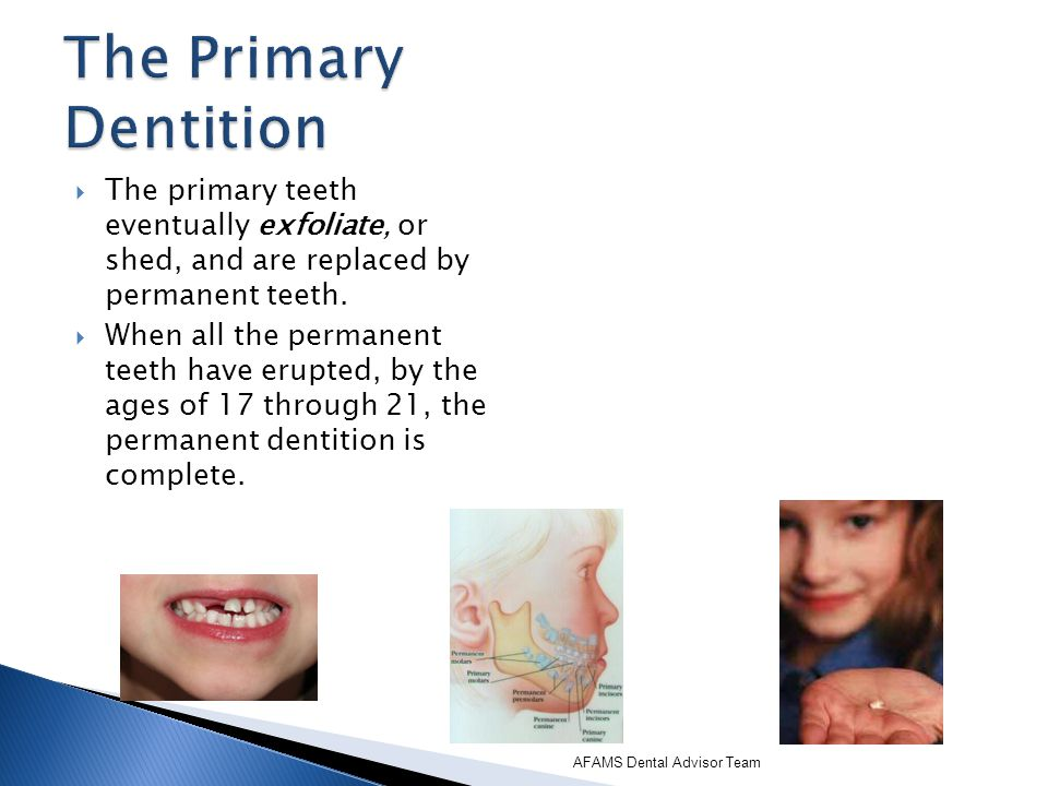 The Primary Dentition The primary teeth eventually exfoliate, or shed, and are replaced by permanent teeth.