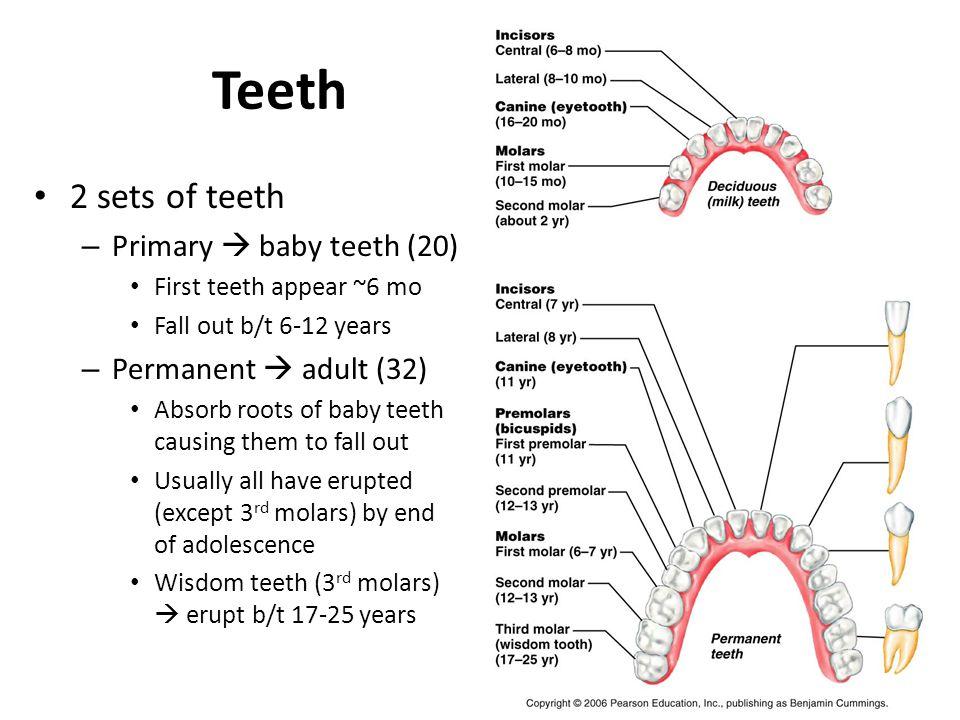 Teeth 2 sets of teeth Primary  baby teeth (20) Permanent  adult (32)