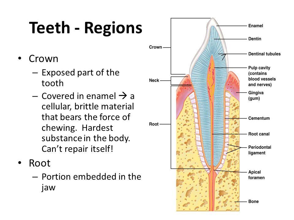 Teeth - Regions Crown Root Exposed part of the tooth