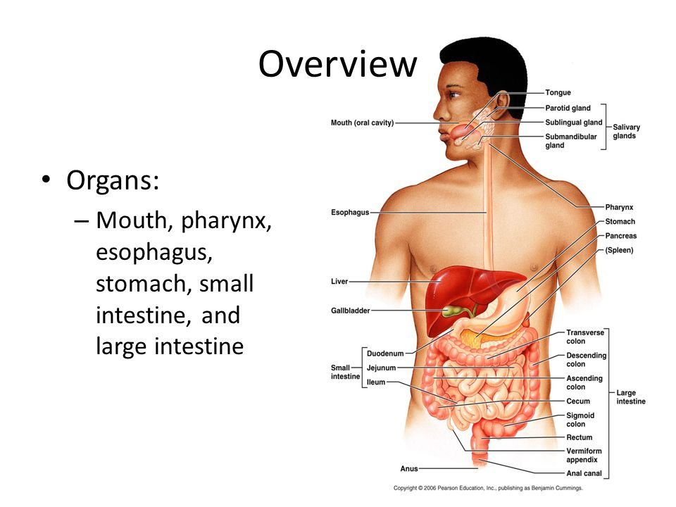 Overview Organs: Mouth, pharynx, esophagus, stomach, small intestine, and large intestine