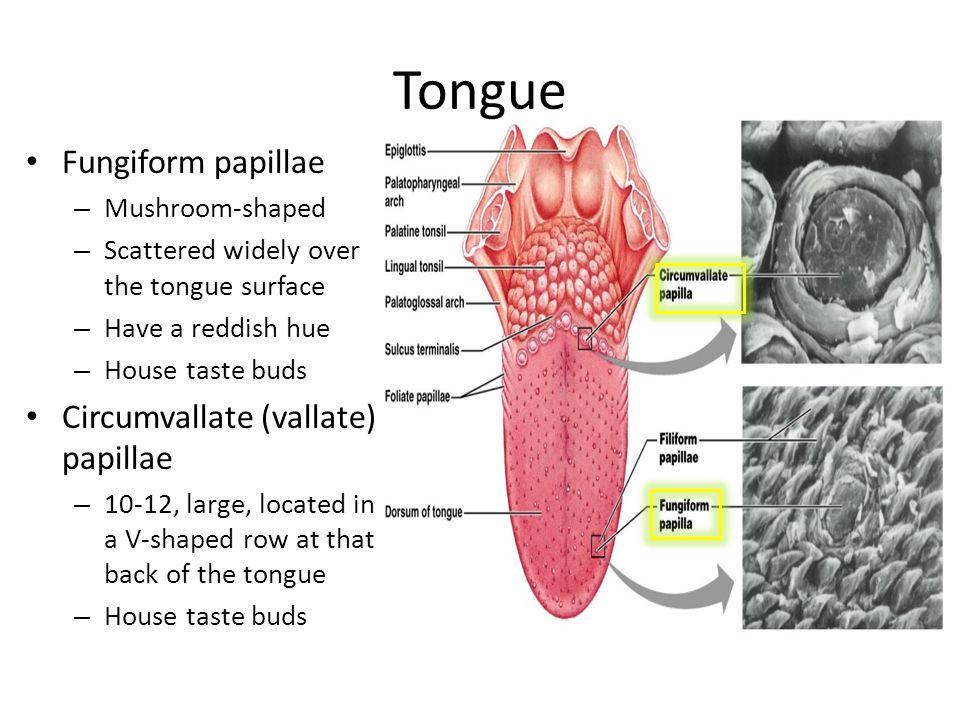 Tongue Fungiform papillae Circumvallate (vallate) papillae