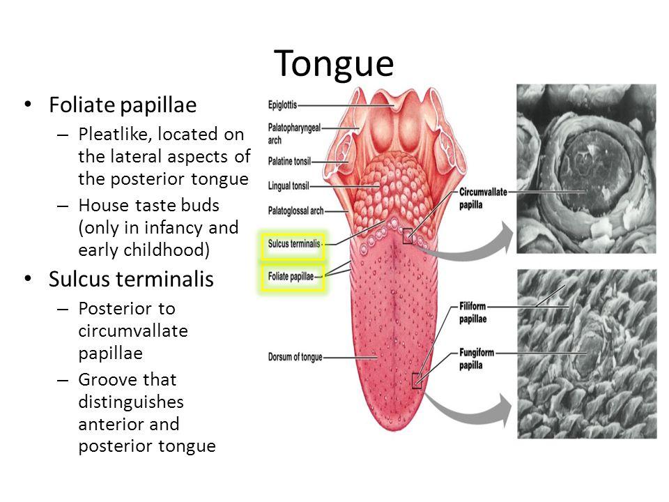 Tongue Foliate papillae Sulcus terminalis