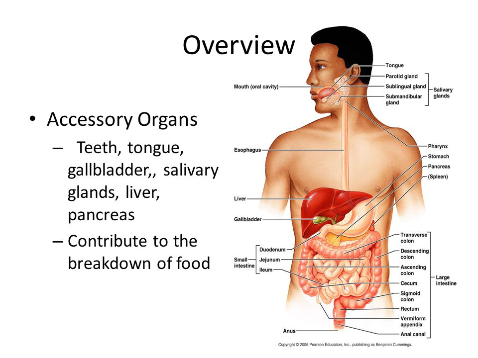 Overview Accessory Organs