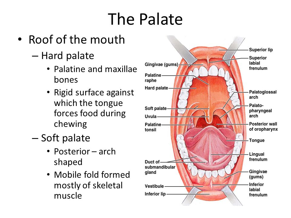 The Palate Roof of the mouth Hard palate Soft palate