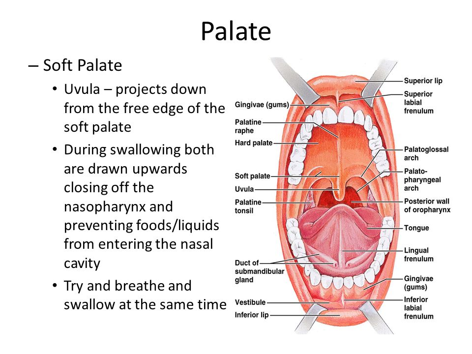 Palate Soft Palate. Uvula – projects down from the free edge of the soft palate.