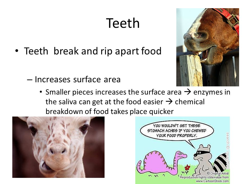 Teeth Teeth break and rip apart food Increases surface area