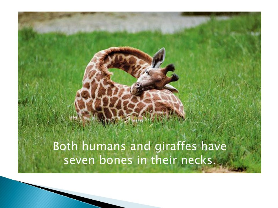 Both humans and giraffes have seven bones in their necks.