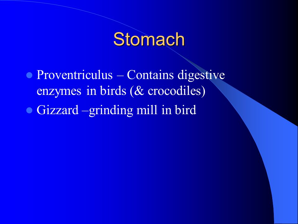 Stomach Proventriculus – Contains digestive enzymes in birds (& crocodiles) Gizzard –grinding mill in bird.