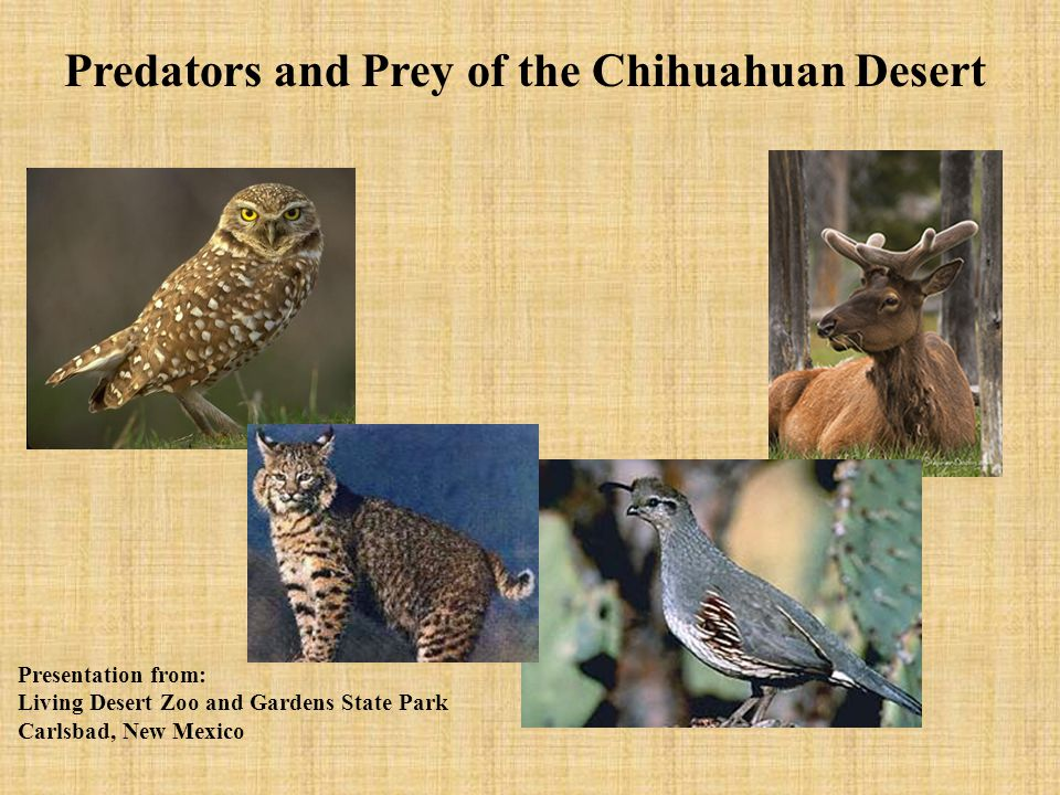 Predators and Prey of the Chihuahuan Desert