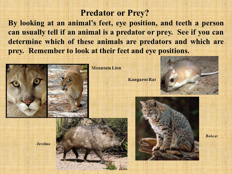 Predator or Prey