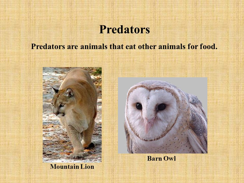 Predators Predators are animals that eat other animals for food.