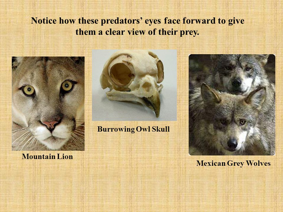 Notice how these predators' eyes face forward to give