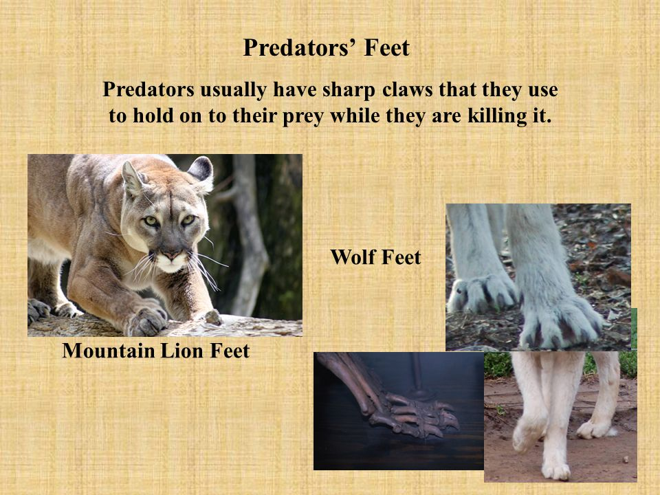 Predators' Feet Predators usually have sharp claws that they use to hold on to their prey while they are killing it.