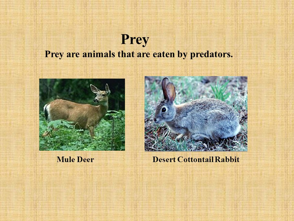 Prey Prey are animals that are eaten by predators. Mule Deer