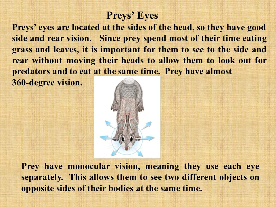 Preys' Eyes