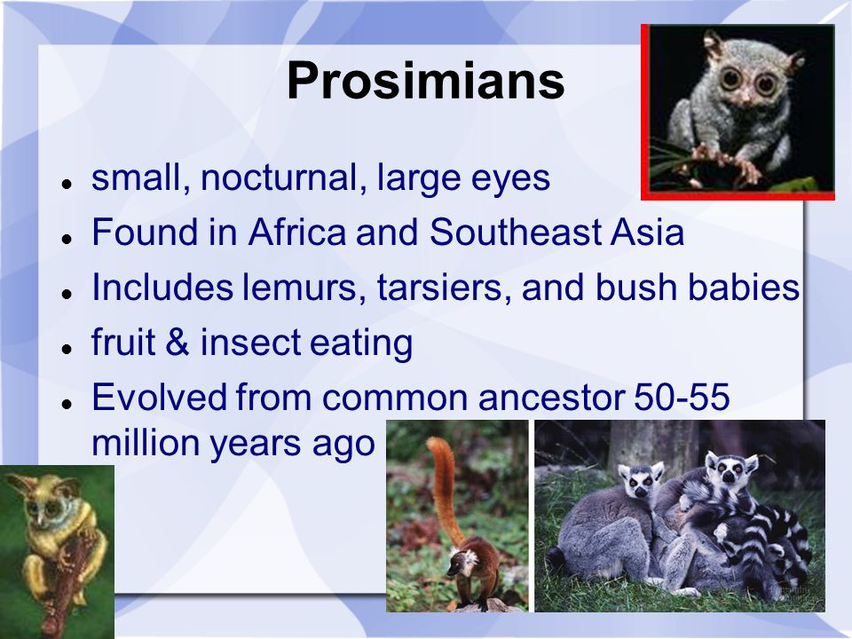 Prosimians small, nocturnal, large eyes