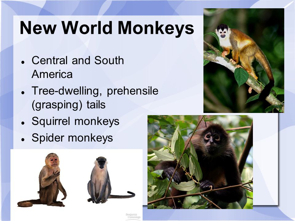 New World Monkeys Central and South America
