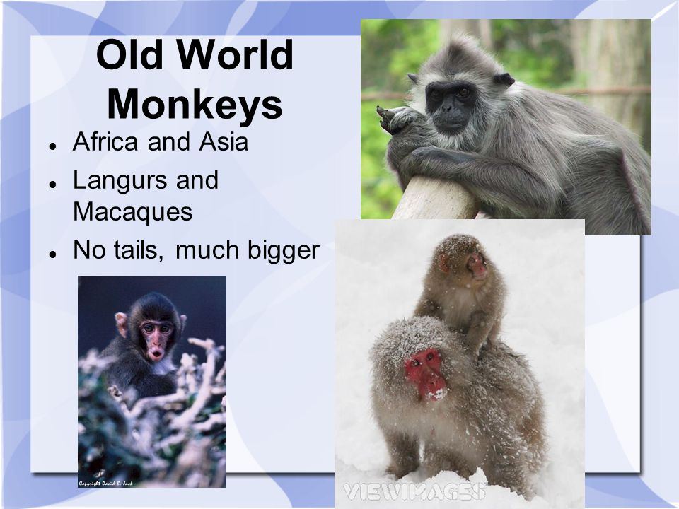 Old World Monkeys Africa and Asia Langurs and Macaques