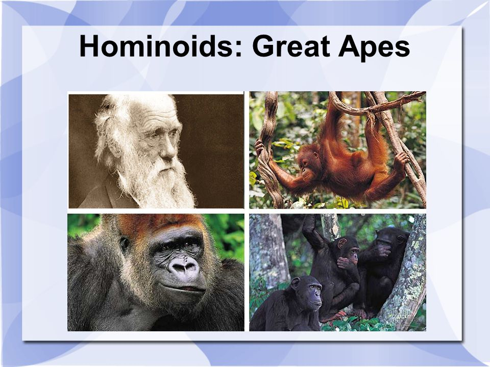 Hominoids: Great Apes