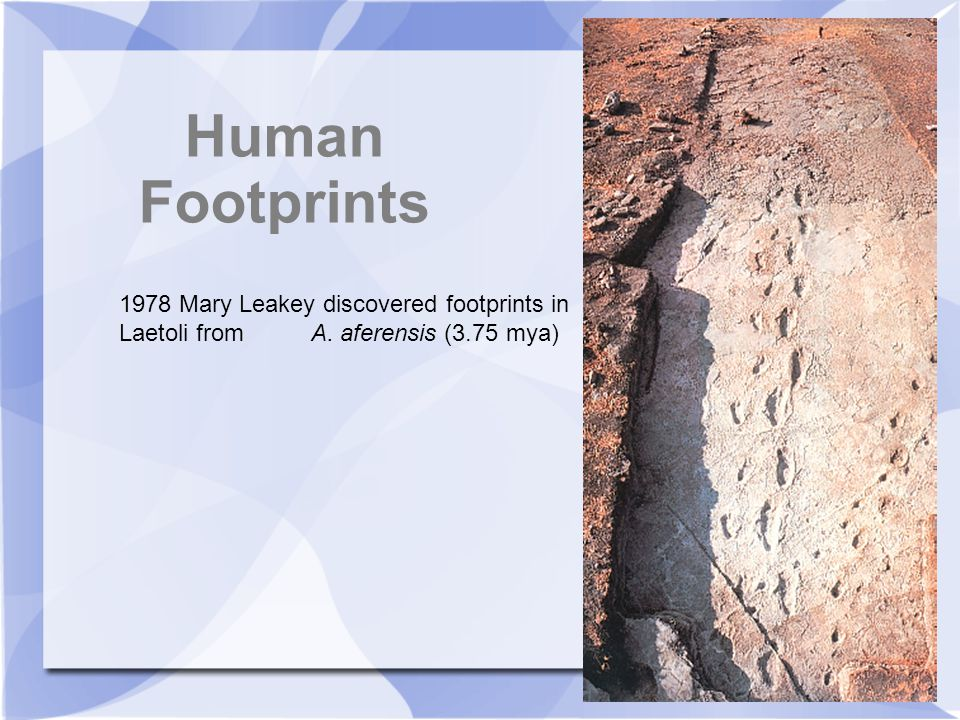Human Footprints 1978 Mary Leakey discovered footprints in Laetoli from A.