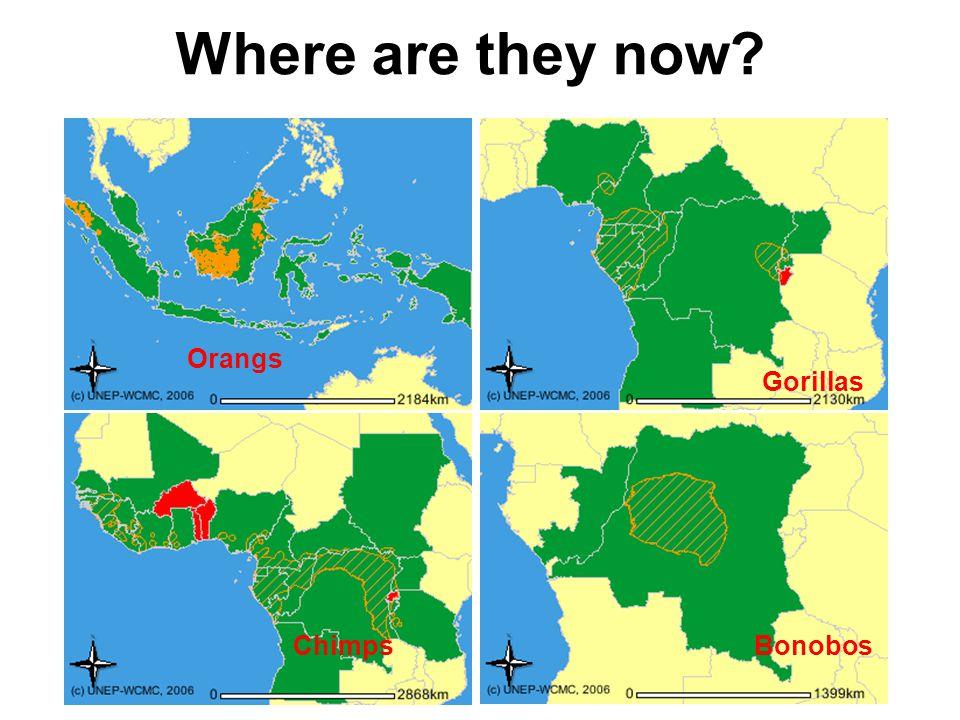 Where are they now Orangs Gorillas Chimps Bonobos