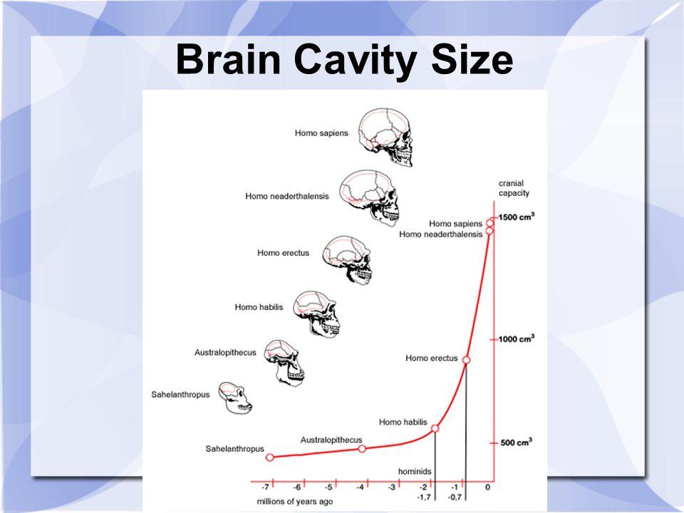 Brain Cavity Size