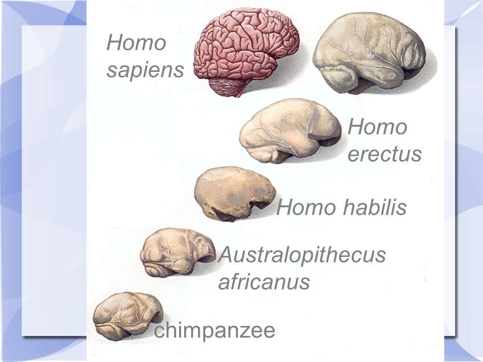 chimpanzee Australopithecus africanus Homo habilis Homo erectus Homo sapiens