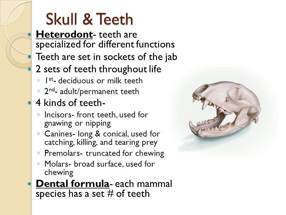 Skull & Teeth Heterodont- teeth are specialized for different functions. Teeth are set in sockets of the jab.