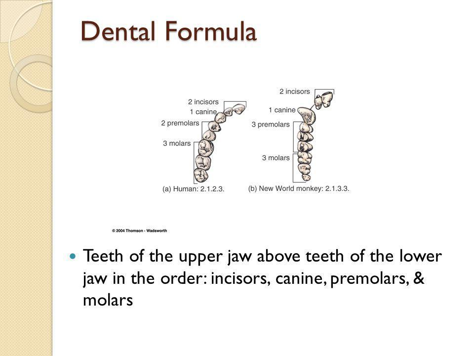 Dental Formula Teeth of the upper jaw above teeth of the lower jaw in the order: incisors, canine, premolars, & molars.